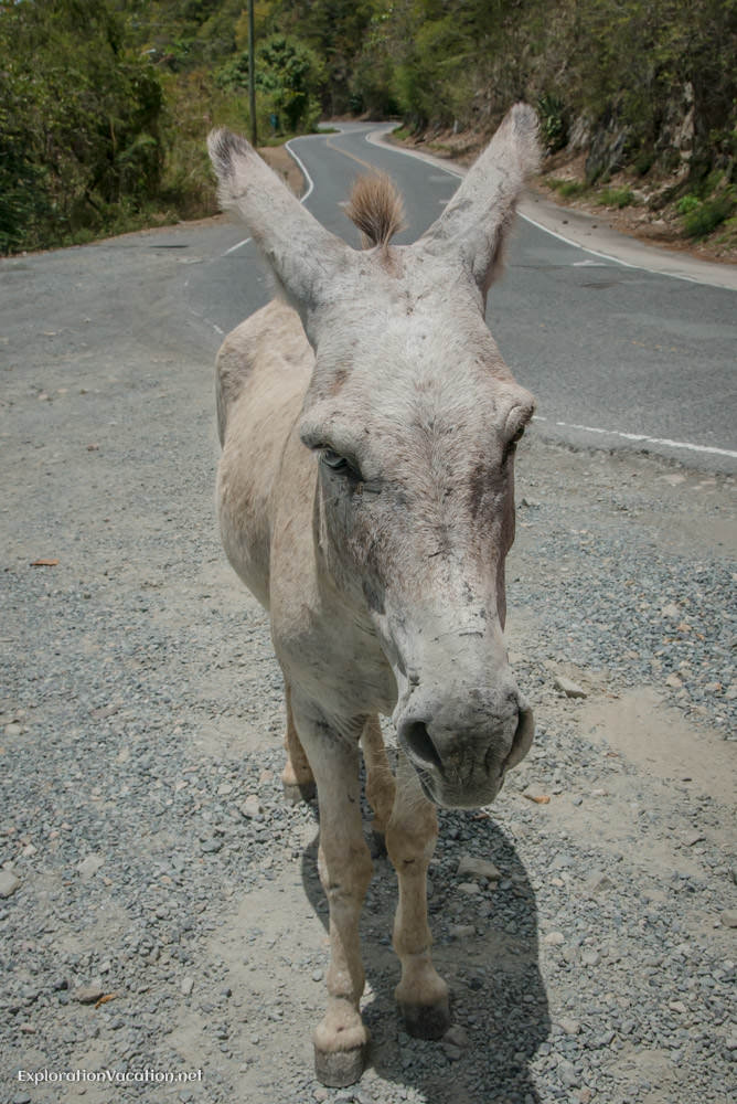 Donkey along the road on St John - ExplorationVacation.net