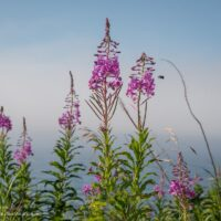 Fireweed along Lake Superior