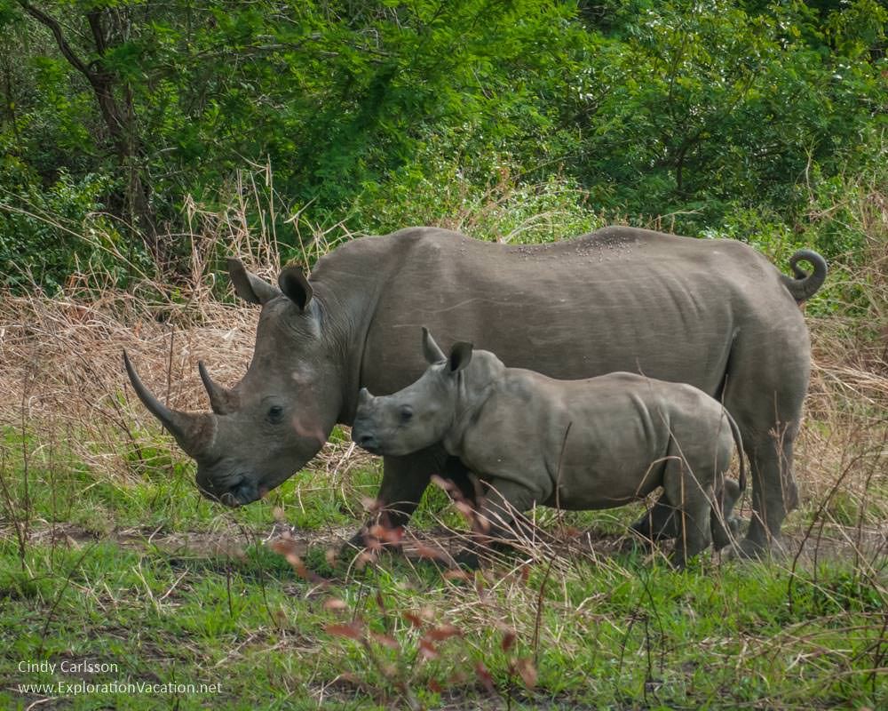 mothr and baby rhino in Hluhluwe Imfolozi Game Reserve
