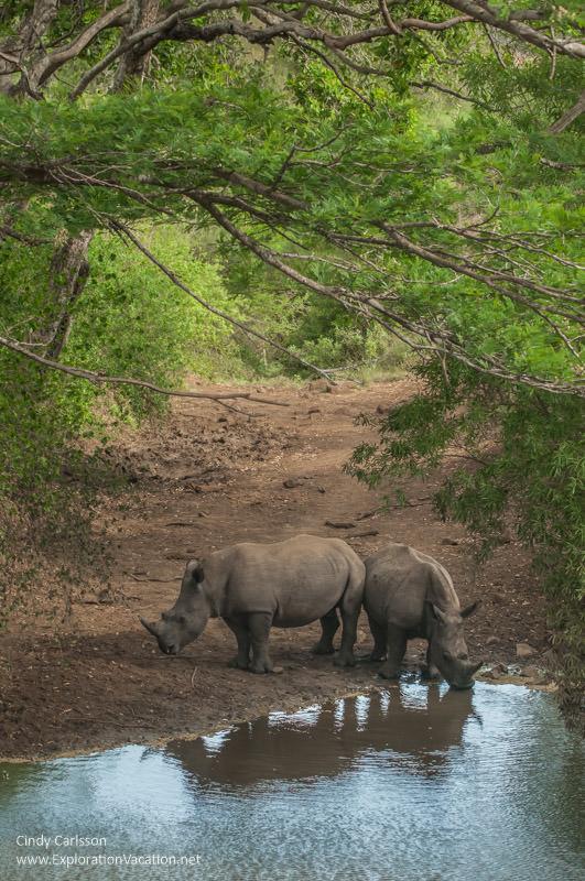 rhinos by water in Hluhluwe Imfolozi Game Reserve