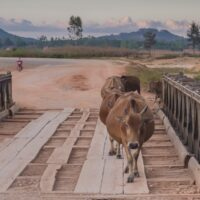 cattle crossing a plank bridge