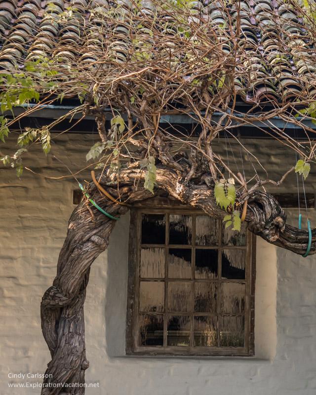 wisteria Mission Santa Clara de Asís California