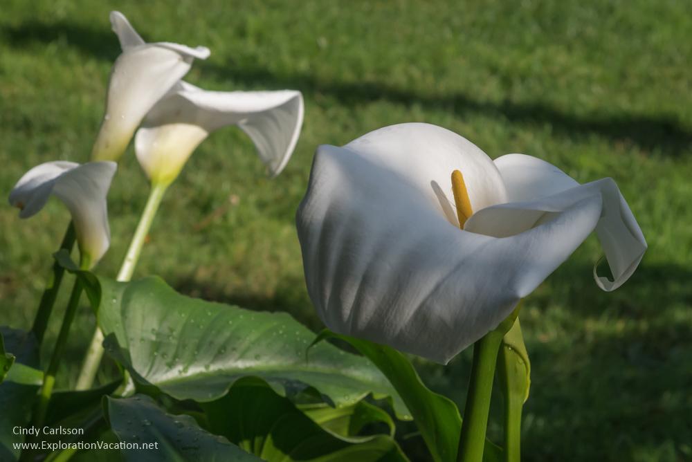 calla lily Mission Santa Clara de Asís