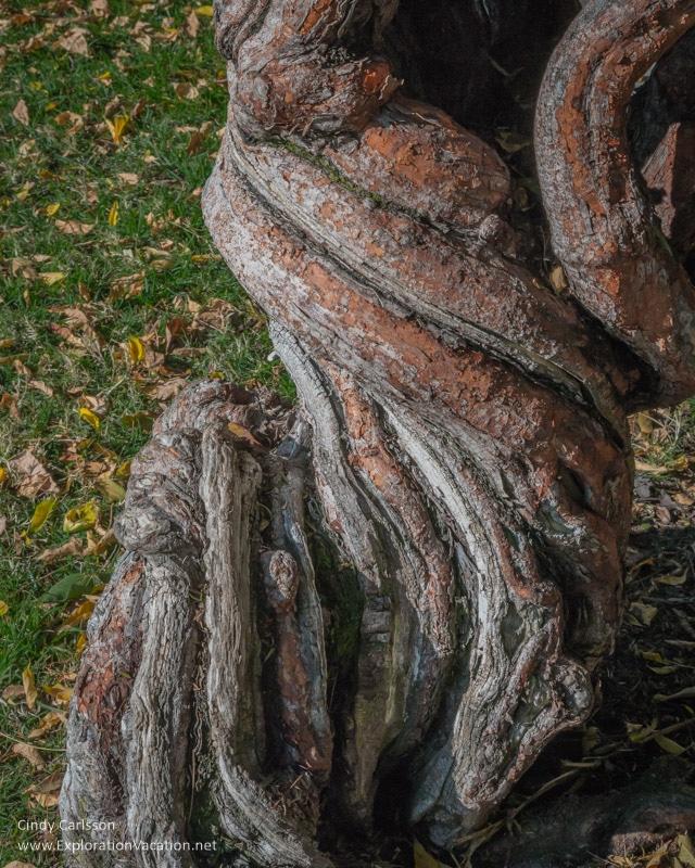 wisteria trunk Mission Santa Clara de Asís