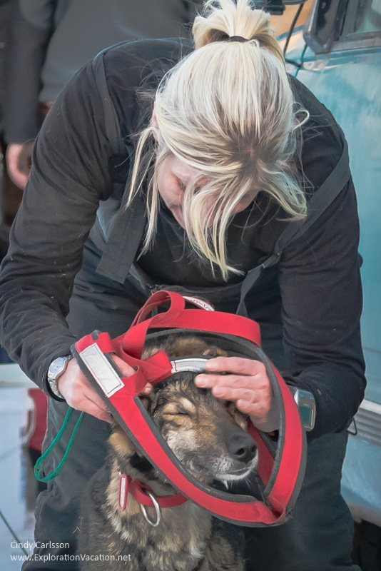 woman taking harness of a dog