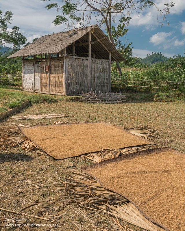 Rice drying in a Tay village