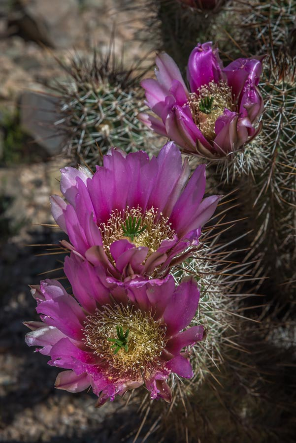 trio of big pink cactus flowers