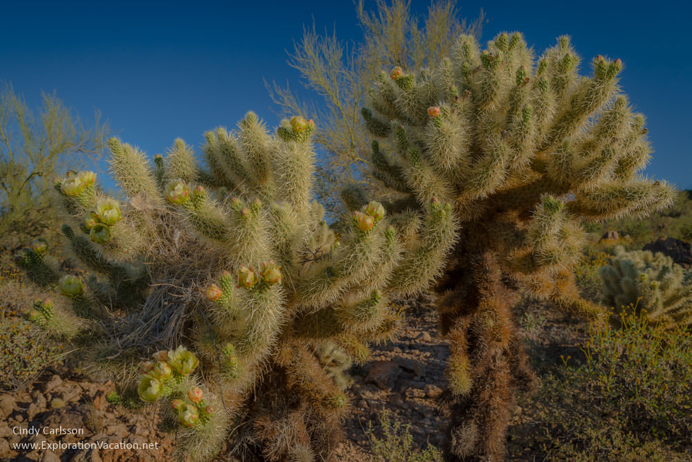 Teddy bear cholla blossoms
