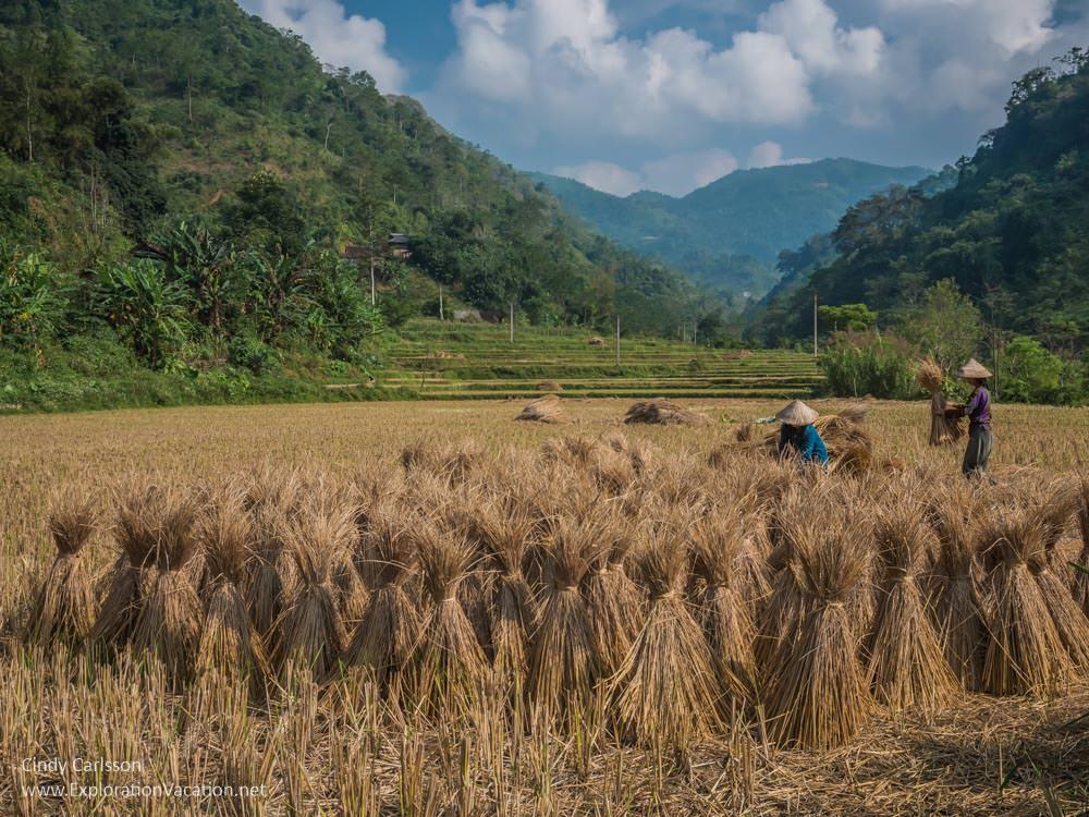 rice fields Northern Vietnam - ExplorationVacation