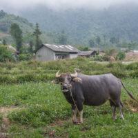 water buffalo in Bo Y village - Northern Vietnam road trip - ExplorationVacation