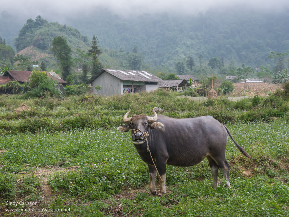 water buffalo in Bo Y village - Northern Vietnam road trip - ExplorationVacation