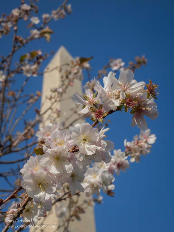 Cherry blossoms at the Washington Monument in Washington DC - ExplorationVacation.net