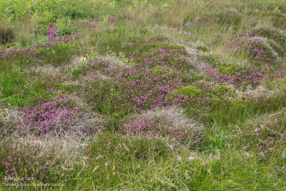 Wildflowers along the Pink Granite Coast (Côte de Granit Rose) Brittany France - www.ExplorationVacation.net