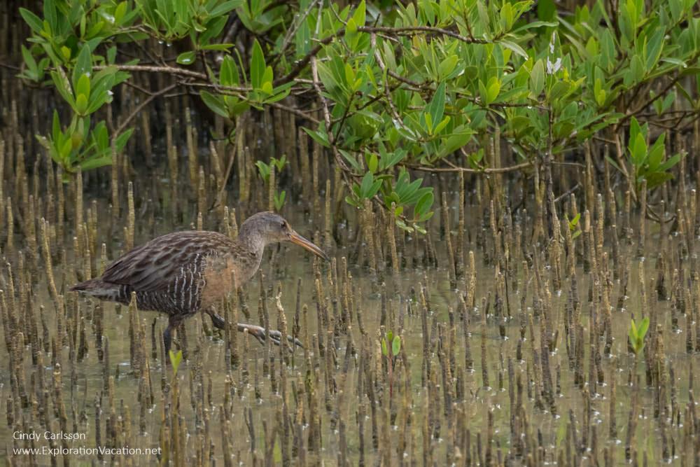 Heron in Boquerón mangrove wetland - www.ExplorationVacation.net