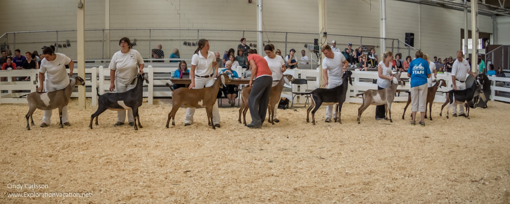 Minnesota State Fair favorites - dairy goat judging - www.ExplorationVacation.net