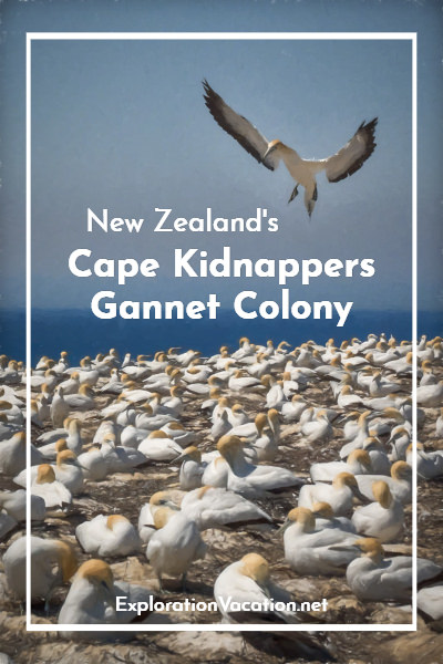 """Gannet colony with text """"Cape Kidnappers New Zealand Gannet Beach Tractor Tour"""""""