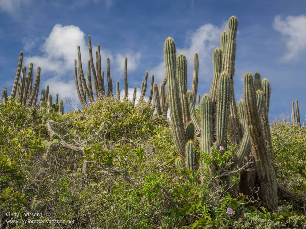 cacti in Christoffel National Park Curacao - ExplorationVacation.net