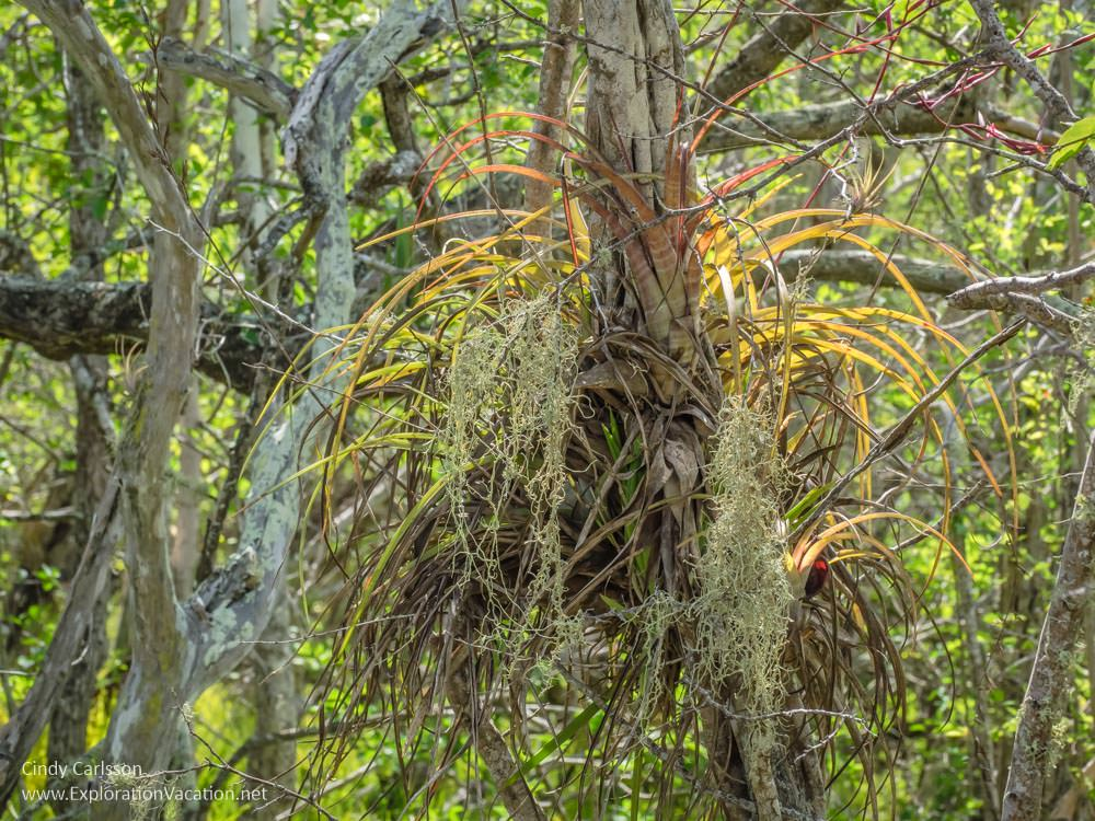 bromeliads in Christoffel National Park Curacao - ExplorationVacation.net