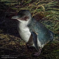 Little Blue Penguin heading back to its nest on New Zealand's Otago Peninsula - ExplorationVacation.net