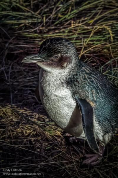 A little blue penguin