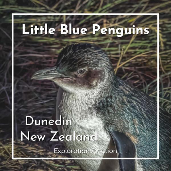 "penguin with text ""Little Blue Penguins Dunedin, New Zealand"