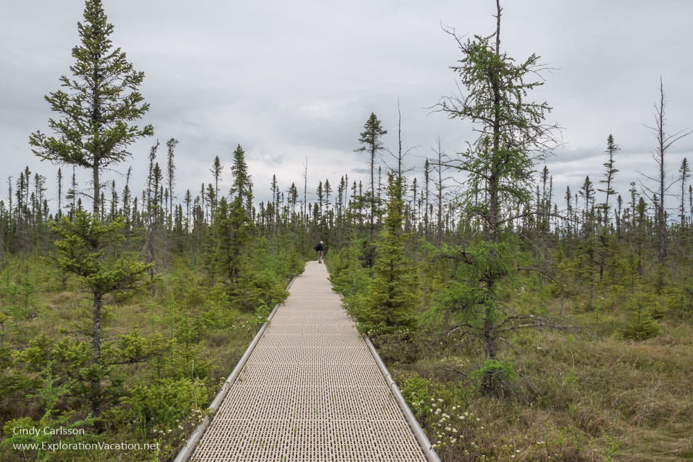 Black spruce along the boardwalk in Minnesota's Big Bog State Recreation Area - ExplorationVacation.net