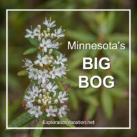 "Labrador tea with text ""Minnesota's Big Bog"""