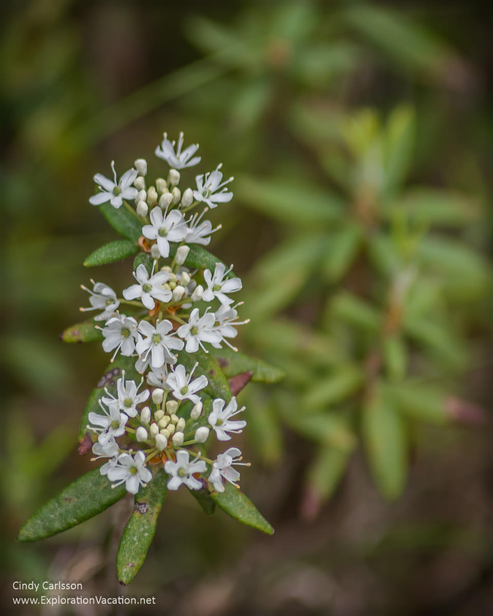 Labrador tea in Minnesota's Big Bog