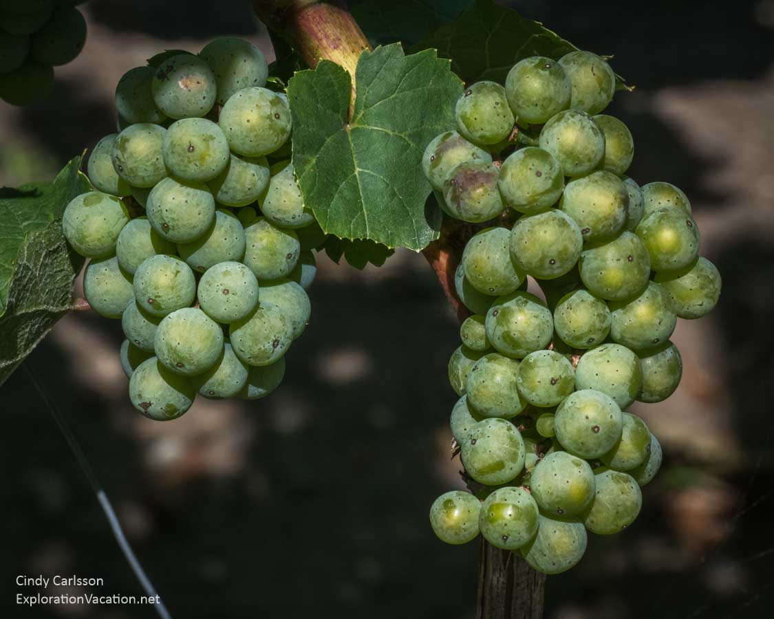 green wine grapes hanging in the vineyard