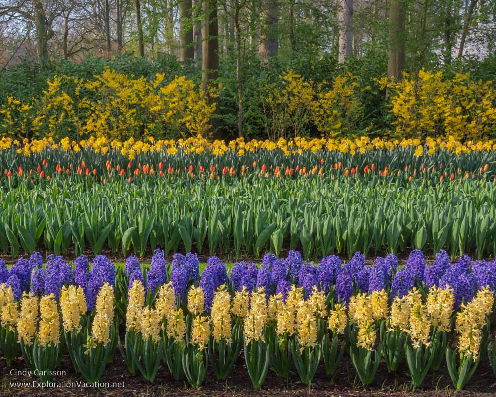 rows of yellow and purple hyacinth, red tulip buds, and yellow daffodils in front of yellow forsythia and trees