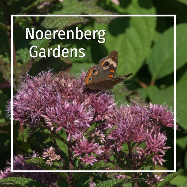 "milkweed with butterfly and text ""Noerenberg Gardens"""