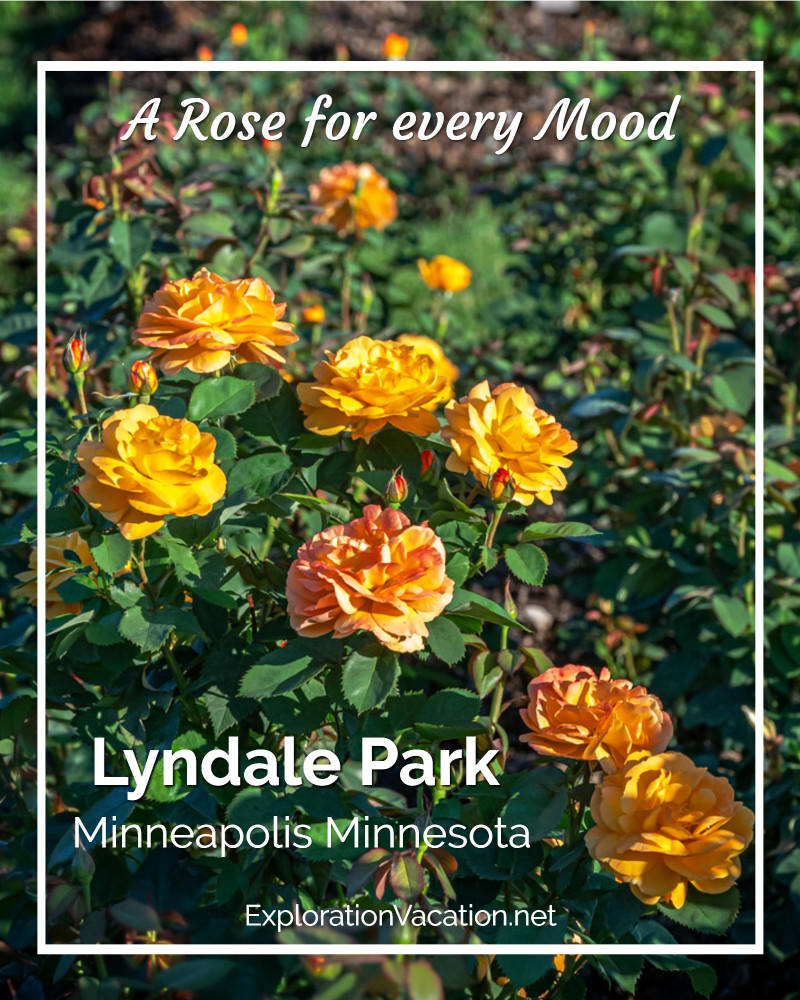 "gold roses with text ""Lyndale Park Rose Garden"""