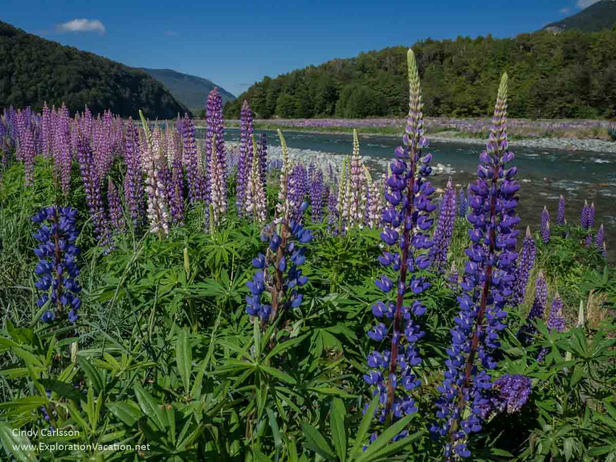 purple and pink lupines along a river