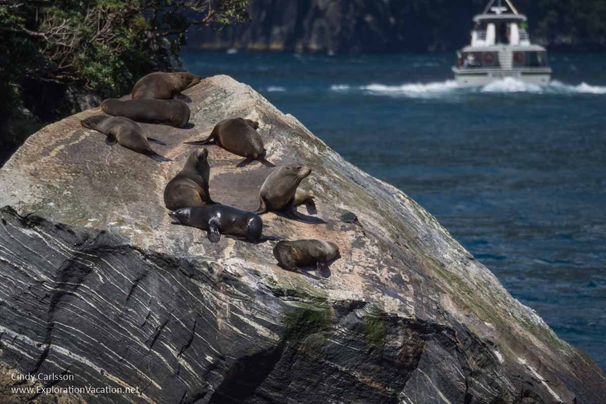 Seals on a rock with a tour boat in the background