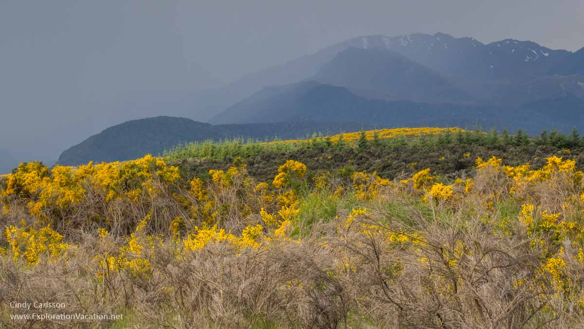 golden flowered shrubs with misty mountains in background