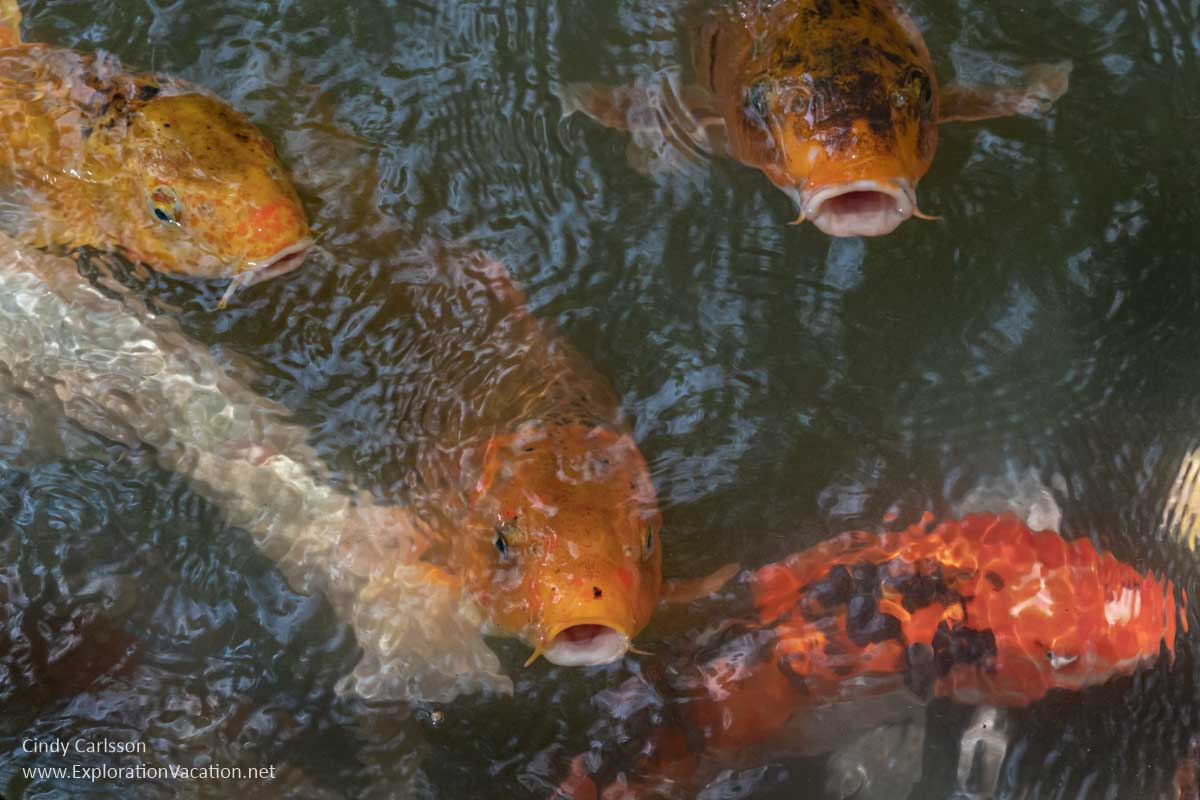 gold and white koi fish looking for food at the water's surface