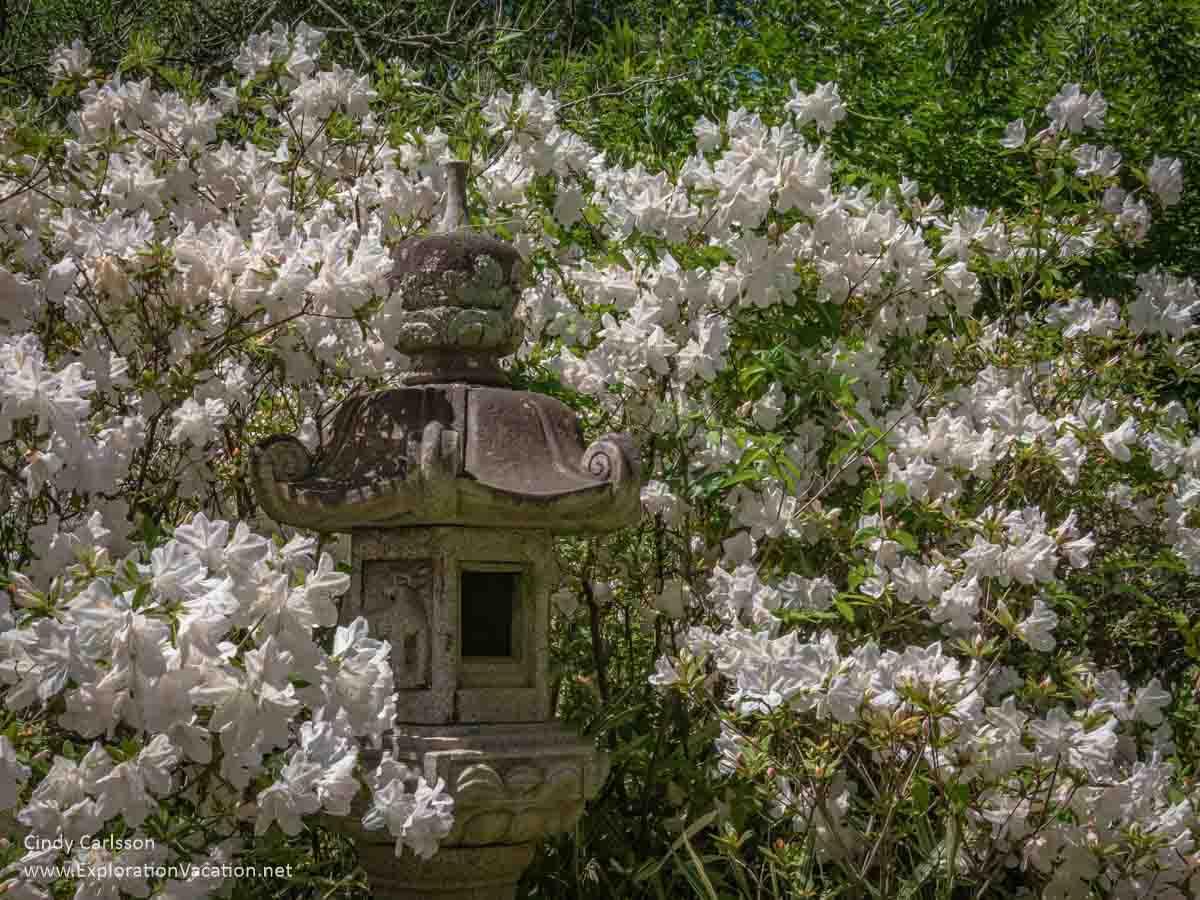 white azaleas around a stone Japanese lantern