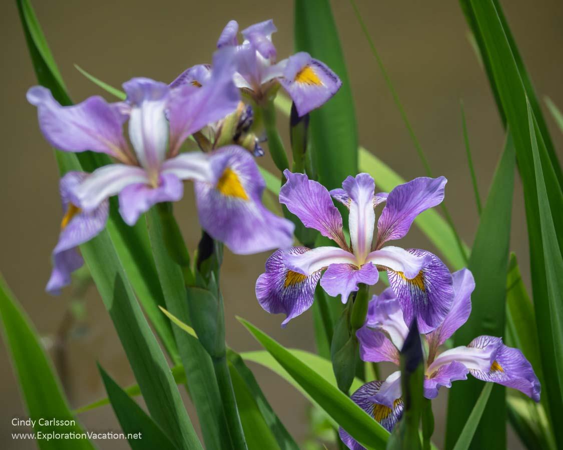 blue Japanese irises