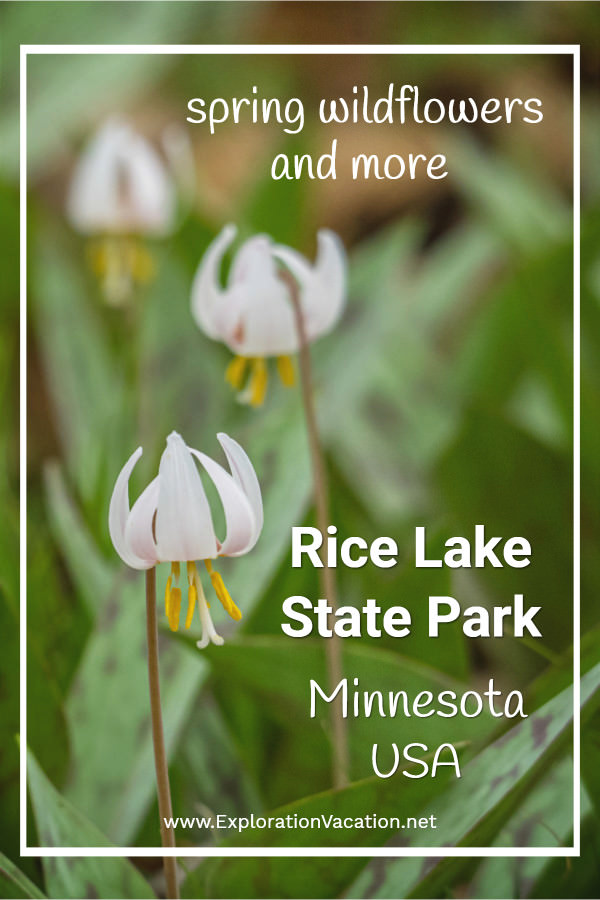 "three white trout lily flowers with text ""Spring Wildfloewers and more: Rice Lake State Park, Minnesota"""