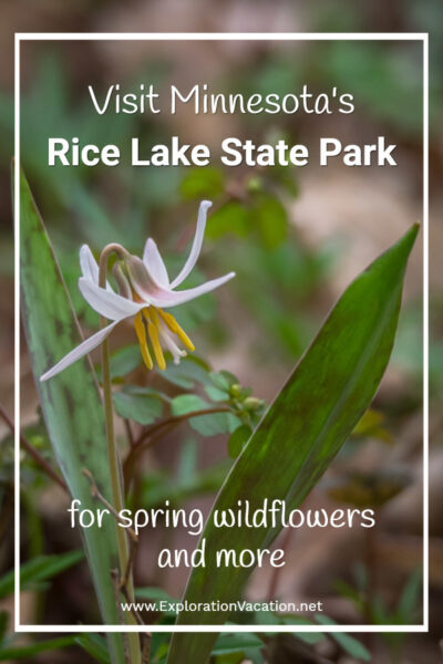 "single white trout lily blossom with leaves and text ""Visit Minnesota's Rice Lake State Park for spring wildflowers"""