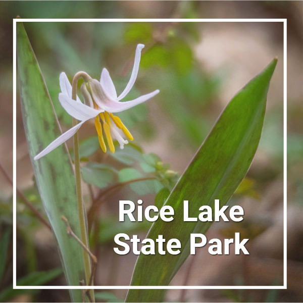 "single white trout lily blossom with leaves and text ""Rice Lake State Park"""