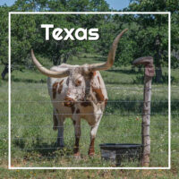 "long horn cattle with text ""Texas"""