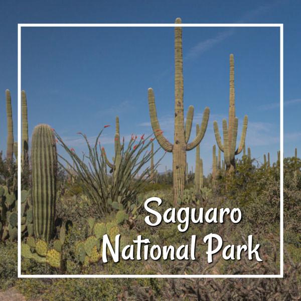 """saguaros with text """"Saguaro National Park"""""""