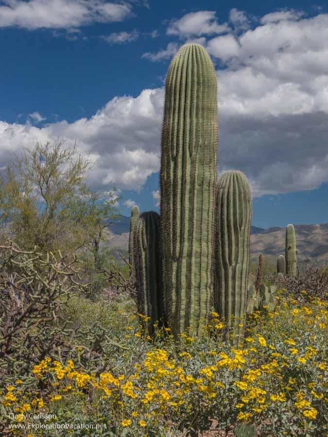 group of young saguaro