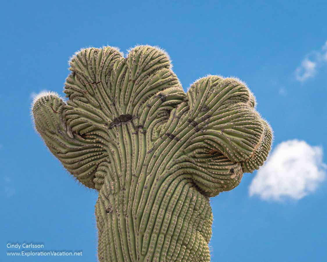 top of a crested saguaro