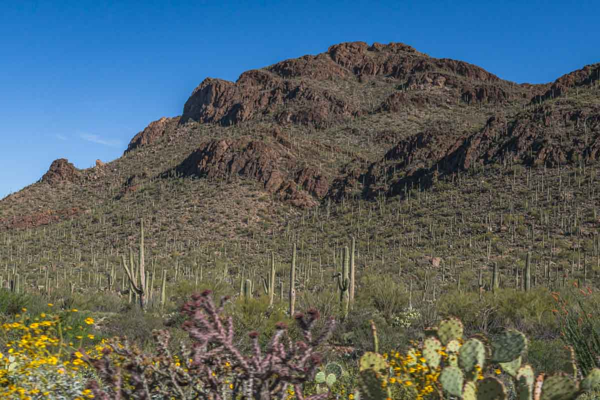 hillsides covered with saguaro
