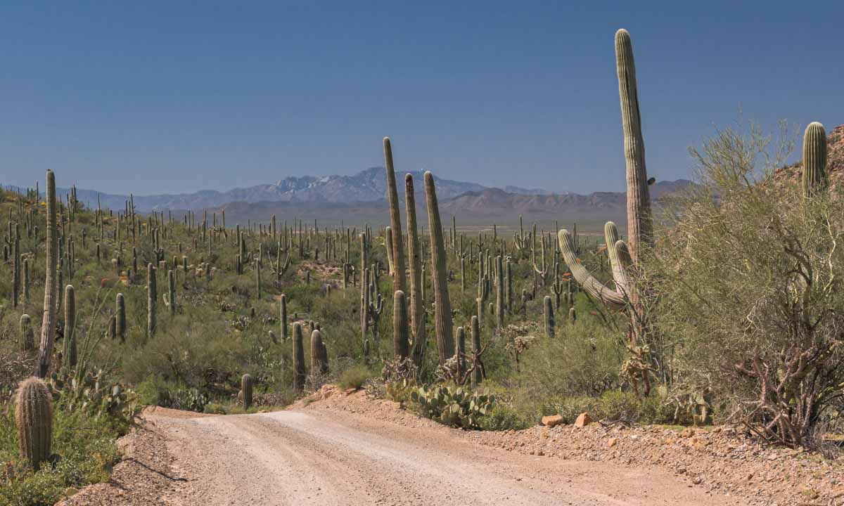 dirt road surrounded by saguaro cacti
