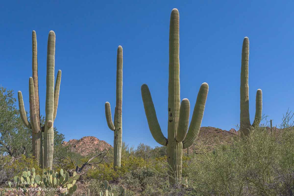 group of mature saguaro cactus