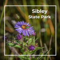 "aster and bees with text ""Sibley State Park"""