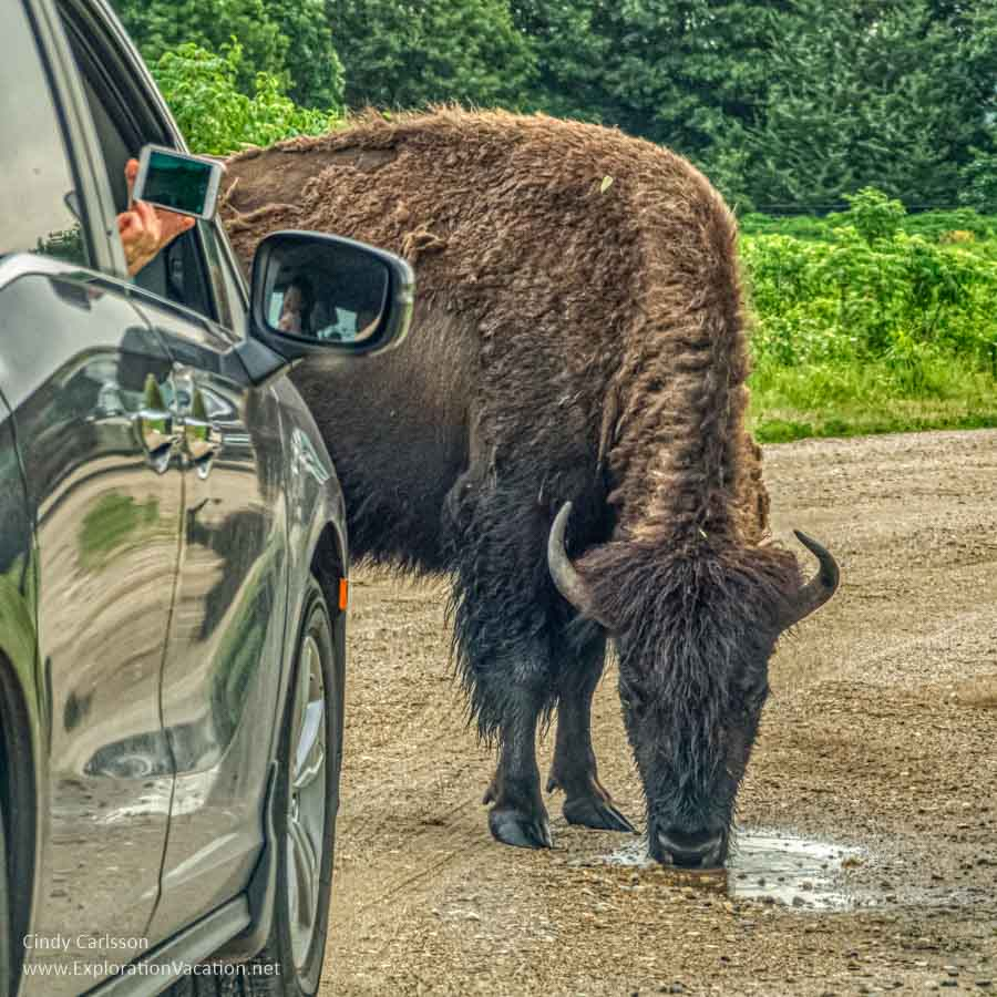 Bison standing by a car drinking from a puddle in a road